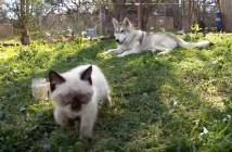 子猫を連れ戻すハスキー犬