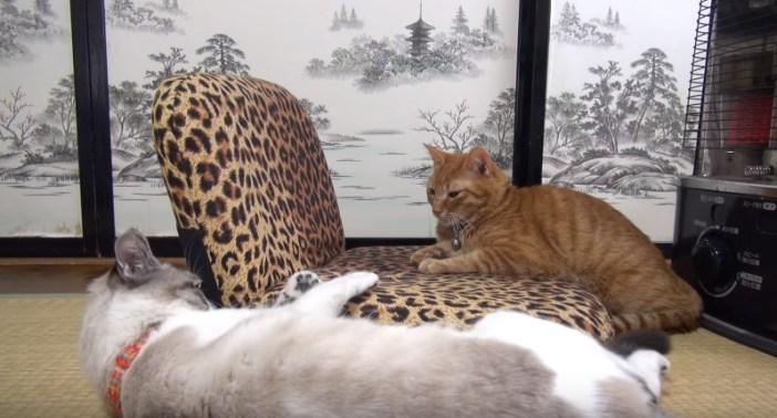 ストールの前で温まる猫
