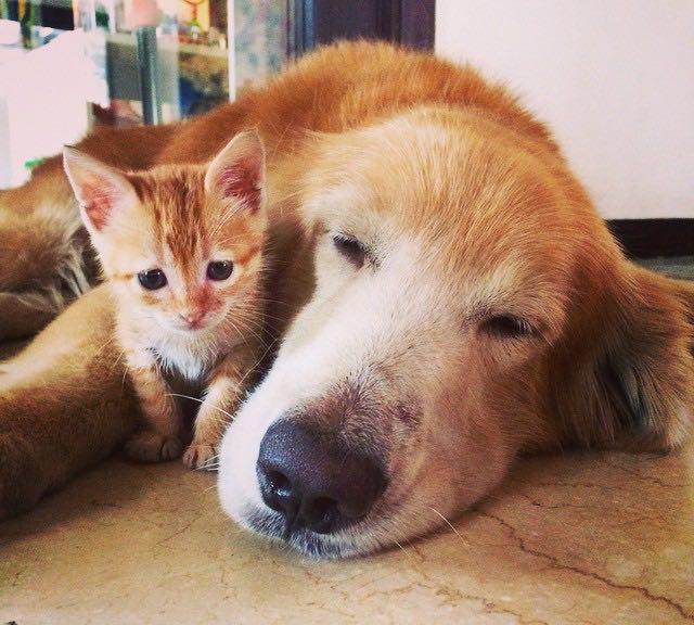 仲良しな子猫とゴールデンレトリバー