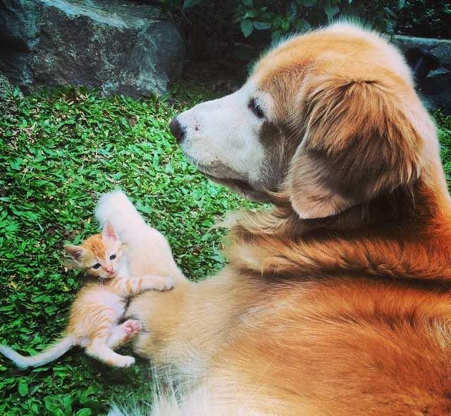 ゴールデンレトリバーに抱きつく子猫
