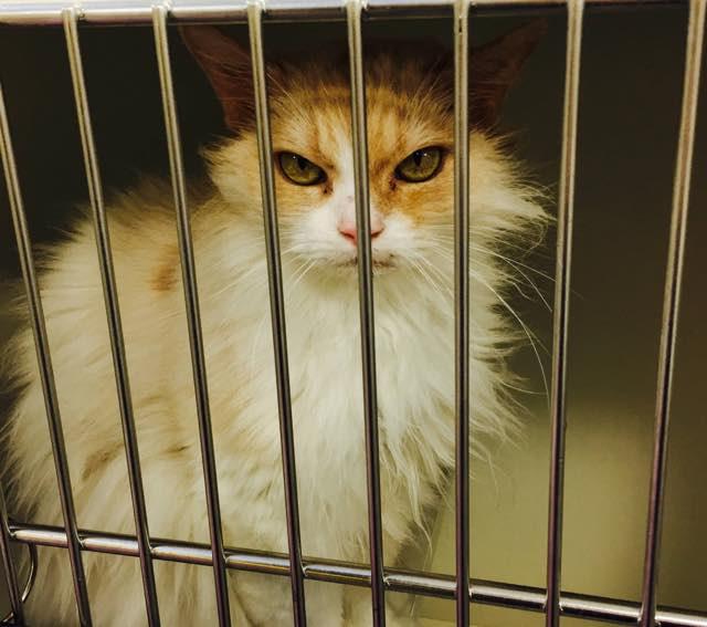 ケージに入れられる目つきの悪い猫