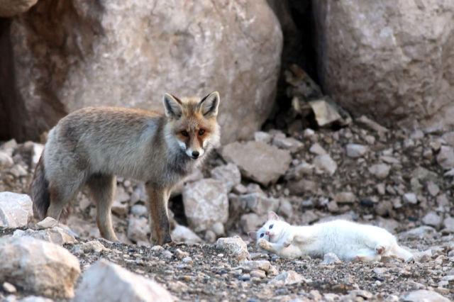 くつろぐキツネと猫
