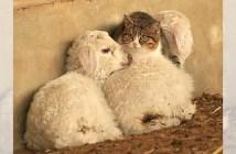 子羊で暖をとる猫