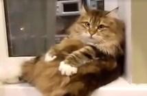 自分のお腹のモフモフに気づいてしまった猫