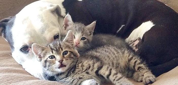 3本足の犬。子猫の親になる。