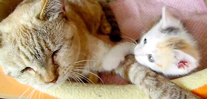 大人猫を起こす子猫