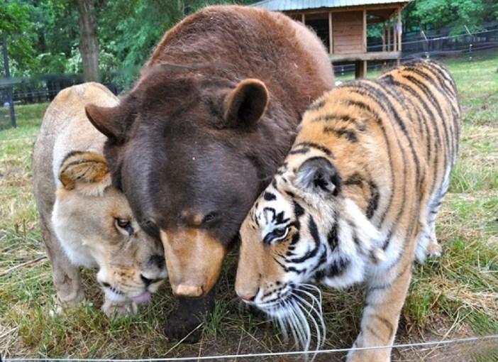 トラとライオンとクマ