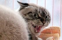 威嚇顔の猫