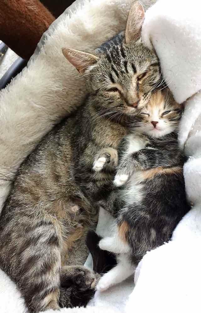 親子の猫抱き合って眠る