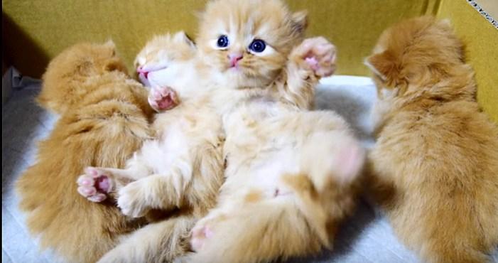 起き上がりたいマンチカン子猫
