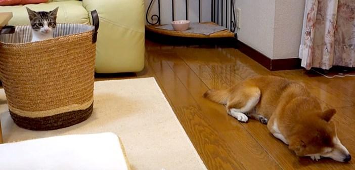 柴犬を狙う猫