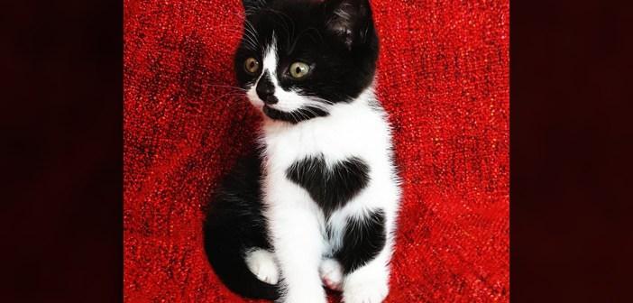 胸にハートマークのある猫