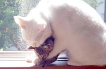 2匹の子猫に愛情を与える白猫