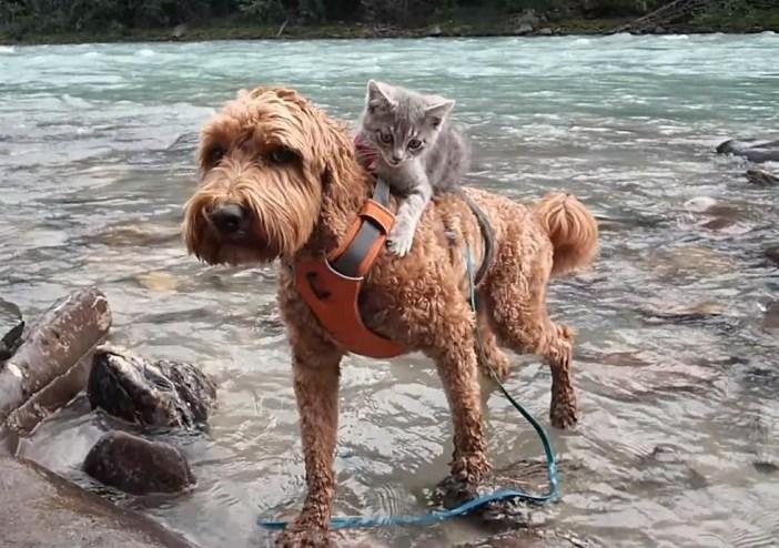 川を渡る子猫