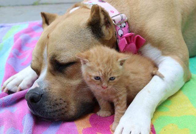 犬に収まる子猫