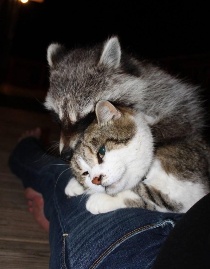 いっしょの猫とアライグマ
