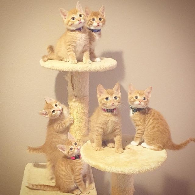 キャットタワーに登る子猫