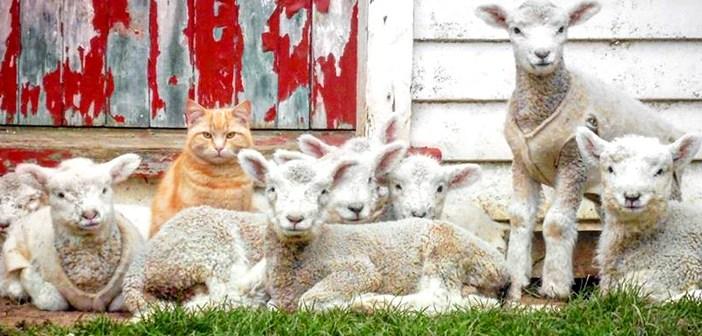 自分を羊だと思っている猫