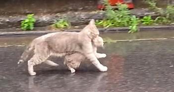 雨の中を帰宅する猫の親子