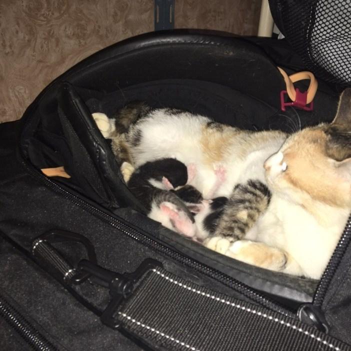 バッグに入る親子猫
