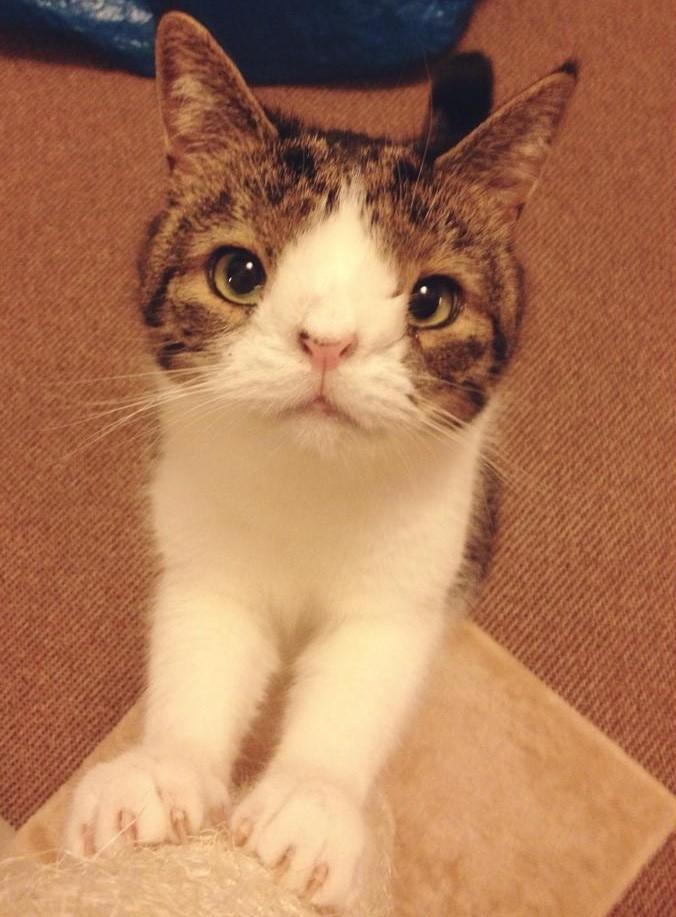 目の離れている猫