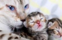 ベンガル猫の子猫と母猫