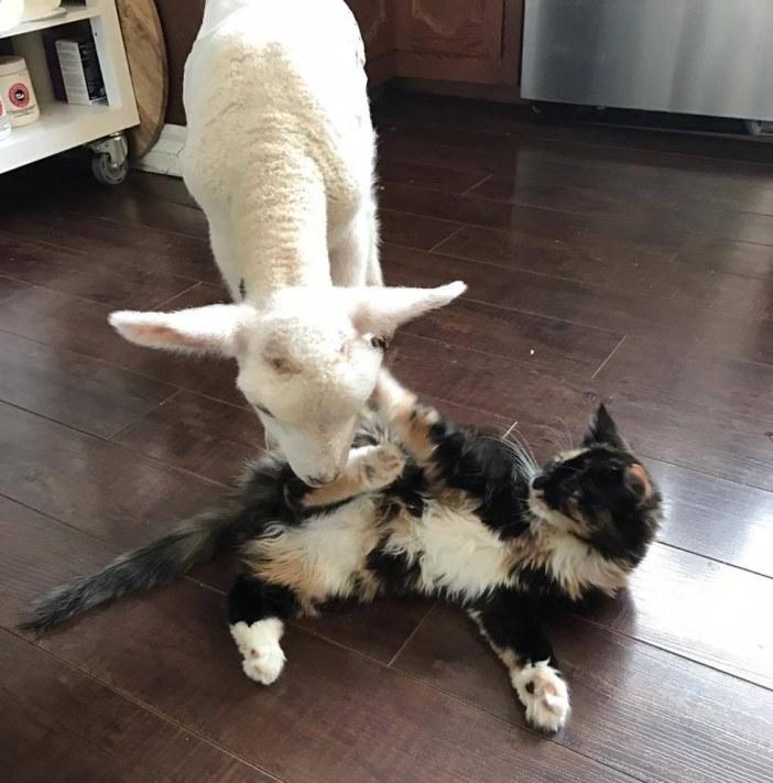 遊ぶ子羊と猫