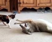 同じ屋根の下で出会った猫とコヨーテ。楽しそうにじゃれ合う姿にビックリ ( ゚Д゚)!