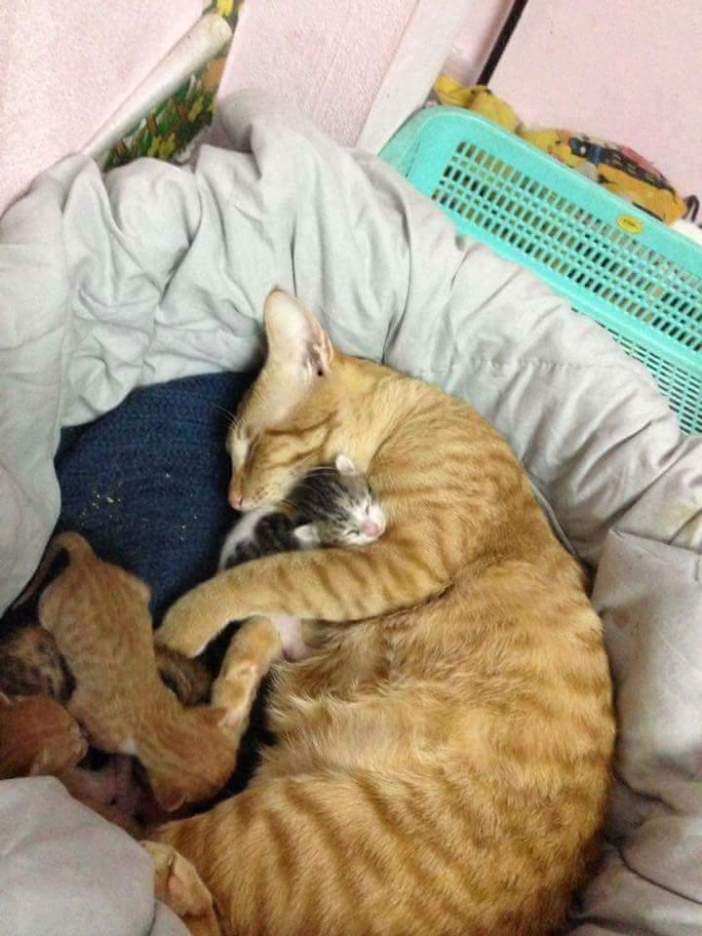 父猫が子守り