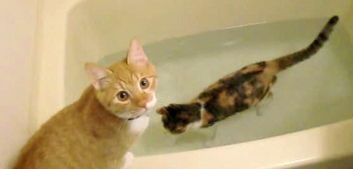 お風呂に入る猫と覗く猫