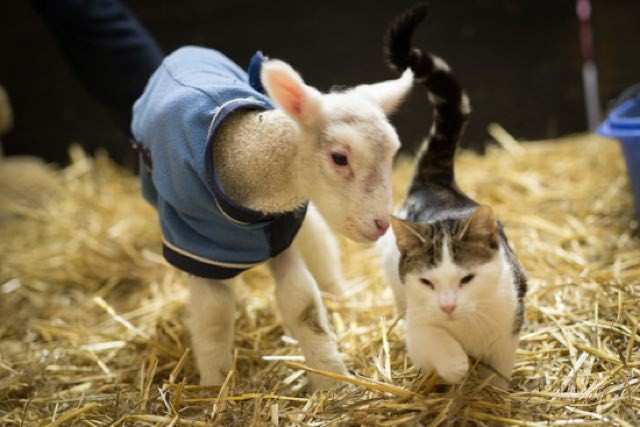 ヤギと子猫