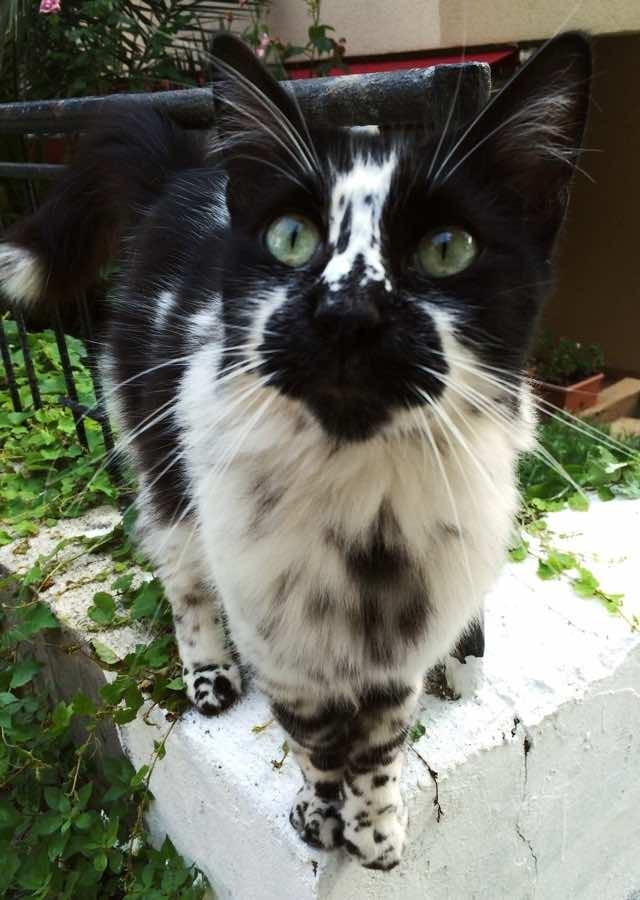 ダルメシアンのような模様の猫