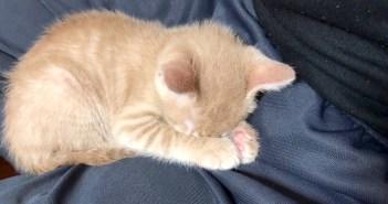 指を舐めながら寝落ちする子猫
