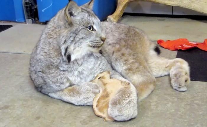 ウサギのぬいぐるみを抱くオオヤマネコ