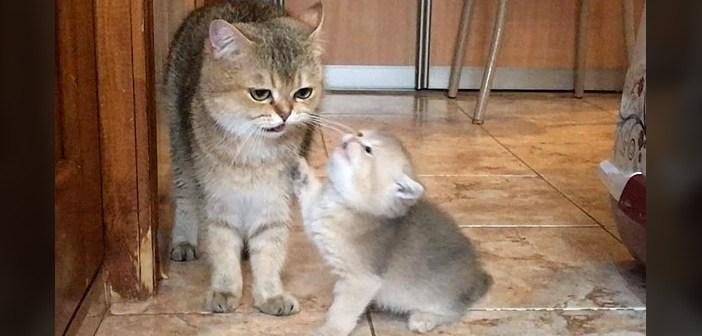 母猫におねだりする子猫