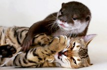 仲良しなカワウソと猫