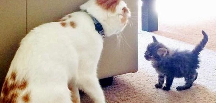 独りぼっちのところを保護された子猫。元気をくれたのは、新しい家で出会った猫のお父さんでした (*´ω`*) 10枚