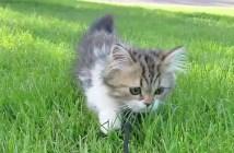 散歩する子猫