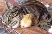 仲良しな猫とヒヨコ