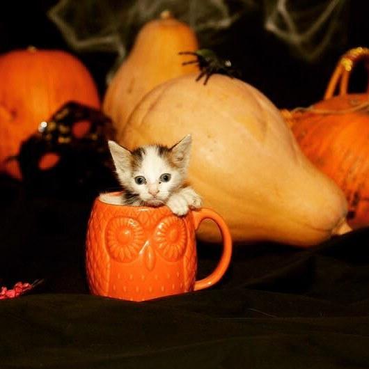 コップに入る子猫