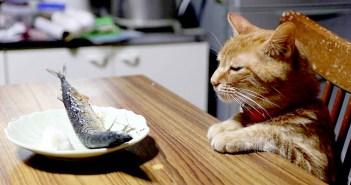 秋刀魚を見つめる猫
