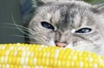 トウモロコシを食べる猫