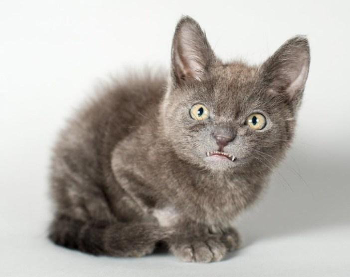 歯がむき出しの子猫