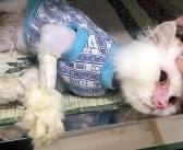 「もう助からない」と言われた猫。決して諦めなかった女性のおかげで美しい姿を取り戻し、みんなを驚かせる!