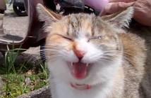 大きな声で鳴く猫