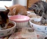 「食べたいけど、眠い…」突然の眠気に耐えながら、口をモグモグする子猫が可愛すぎる ( *´艸`)♪