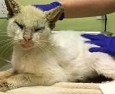 病気のため目が閉じられていた野良猫。保護されて再び目が開くと、その美しい瞳でみんなを驚かせる!