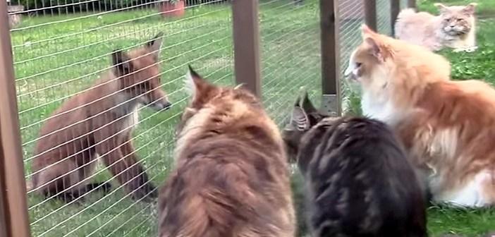 庭に現れた野生のキツネが気になって、続々と集まってくる猫達。どうやらキツネの方も興味津々のようで ( *´艸`)