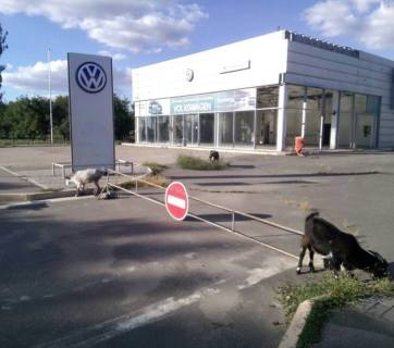 Only goats are grazing weeds where rows of shiny new cars stood at the formerly-successful and now-robbed and abandoned Volkswagen dealership in Russian-occupied Luhansk, Ukraine. September 2016 (Image: Denys Kazansky, deniskazansky.com.ua)