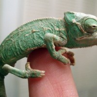 Cute little chameleon